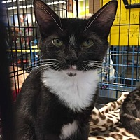Domestic Shorthair Kitten for adoption in Youngsville, North Carolina - Fred