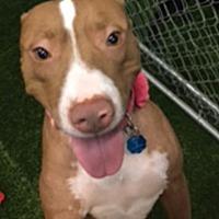 Adopt A Pet :: Candy - The Woodlands, TX