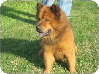 Chow Chow/Shepherd (Unknown Type) Mix Dog for adoption in Auburn, California - COBO