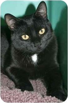 Domestic Shorthair Cat for adoption in Phoenix, Oregon - Cole