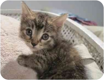 Domestic Shorthair Kitten for adoption in Toronto, Ontario - Ridley