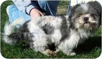 Shih Tzu Dog for adoption in North Judson, Indiana - Levi