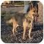 Photo 2 - German Shepherd Dog Dog for adoption in Las Vegas, Nevada - Marsha