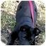 Photo 3 - Labrador Retriever/Shepherd (Unknown Type) Mix Puppy for adoption in Corona del Mar, California - Sophie