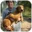 Photo 2 - Weimaraner/Labrador Retriever Mix Dog for adoption in Deer, Arkansas - Red