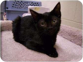 Domestic Shorthair Kitten for adoption in St. Louis, Missouri - Mystic