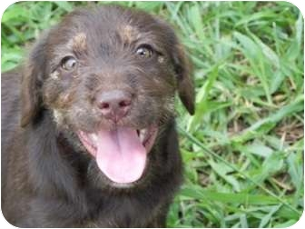 Basset Hound/Labrador Retriever Mix Puppy for adoption in Salem, New Hampshire - Gremlin