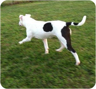 American Staffordshire Terrier Mix Dog for adoption in Plainfield, Illinois - Layla