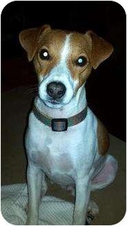 Jack Russell Terrier Dog for adoption in Houston, Texas - Dash in Shreveport