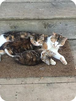 Domestic Shorthair Kitten for adoption in Halifax, Nova Scotia - Momma & Babies