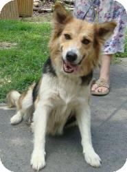 Collie Mix Dog for adoption in Pioneer, Tennessee - Prissy ($100 off!!)