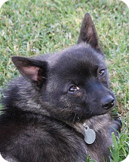 Chihuahua/Pomeranian Mix Dog for adoption in Edmonton, Alberta - Stone