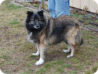 Keeshond Mix Dog for adoption in North Judson, Indiana - Spencer