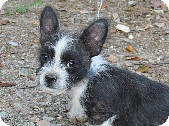 Boston Terrier/Maltese Mix Puppy for adoption in Bedminster, New Jersey - BUGSY