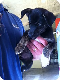Blue Heeler Mix Puppy for adoption in Peru, Indiana - Piper