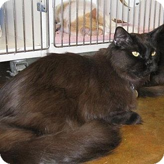 Domestic Mediumhair Cat for adoption in Denver, Colorado - Willie Nelson