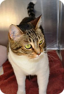 Domestic Shorthair Cat for adoption in Wilmington, Delaware - Tussey
