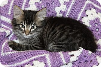 Domestic Mediumhair Kitten for adoption in Flower Mound, Texas - Sparky