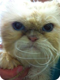 Persian Cat for adoption in Trevose, Pennsylvania - Grumpy Cat - Not