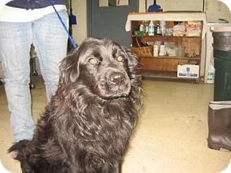 Flat-Coated Retriever Mix Dog for adoption in Tyner, North Carolina - Scottie