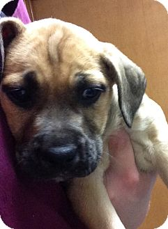 Boxer/Shepherd (Unknown Type) Mix Puppy for adoption in Portsmouth, New Hampshire - Bianca-adoption in progress
