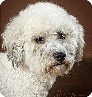 Poodle (Miniature)/Bichon Frise Mix Dog for adoption in Walnut Creek, California - Murphy