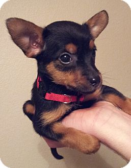 Miniature Pinscher/Yorkie, Yorkshire Terrier Mix Puppy for adoption in Warwick, Rhode Island - Mousey
