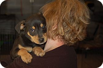 Shepherd (Unknown Type) Mix Puppy for adoption in Lebanon, Tennessee - Mickey