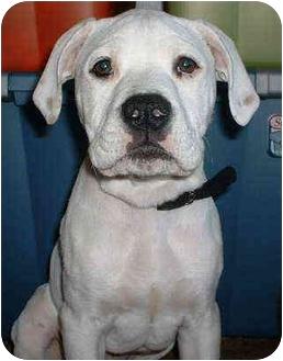 Boxer/American Bulldog Mix Dog for adoption in Wilmington, North Carolina - BUDDY
