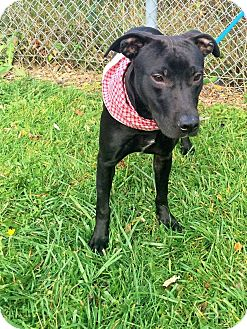 Labrador Retriever Mix Dog for adoption in Flint, Michigan - Lucious  #5257