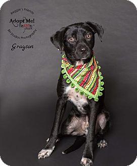 Labrador Retriever/Border Collie Mix Dog for adoption in Denver, Colorado - Grayson