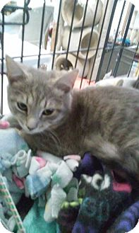 Domestic Shorthair Cat for adoption in Gainesville, Virginia - Farley