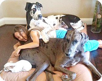 Great Dane Dog for adoption in Cave Creek, Arizona - Niko