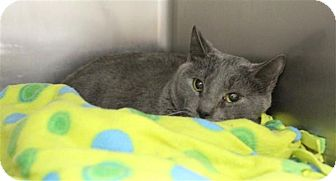 Domestic Shorthair Cat for adoption in Elyria, Ohio - Chase
