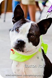 Boston Terrier/American Staffordshire Terrier Mix Dog for adoption in Cedar Rapids, Iowa - Boston Rob