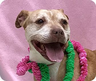 American Staffordshire Terrier Mix Dog for adoption in Evansville, Indiana - Loretta