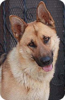 German Shepherd Dog Mix Dog for adoption in Los Angeles, California - August von Ace