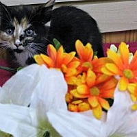 Domestic Mediumhair Cat for adoption in Mocksville, North Carolina - Delilah