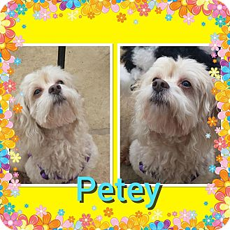 Cockapoo Mix Dog for adoption in Santa Barbara, California - Petey