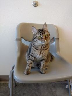 Domestic Shorthair/Domestic Shorthair Mix Cat for adoption in Monticello, Iowa - Abby