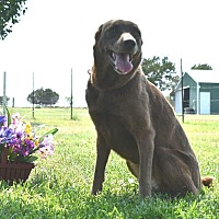 Adopt A Pet :: Roxy - Weatherford, TX