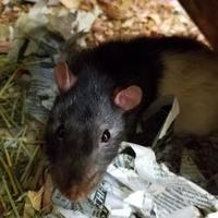 Rat/Rat Mix for adoption in Galveston, Texas - Tyler