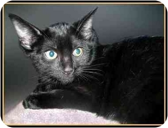 Domestic Shorthair Kitten for adoption in San Clemente, California - SARA LEE