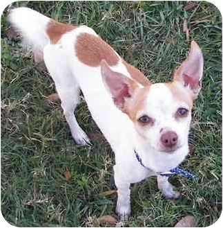 Chihuahua Mix Dog for adoption in Houston, Texas - Pierre