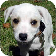 Dalmatian/Pointer Mix Puppy for adoption in Milledgeville, Georgia - Doodle