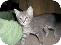 Domestic Shorthair Kitten for adoption in Tampa, Florida - Mallory