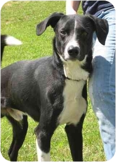 Labrador Retriever Mix Dog for adoption in Florence, Indiana - Bandit