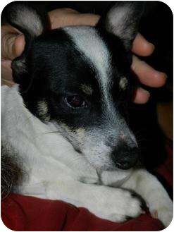 Rat Terrier/Chihuahua Mix Puppy for adoption in Buffalo, New York - Pico: 6 months, 7 #