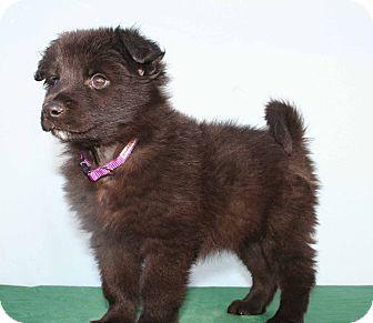 Finnish Spitz/Terrier (Unknown Type, Medium) Mix Puppy for adoption in Westminster, Colorado - ANAHEIM