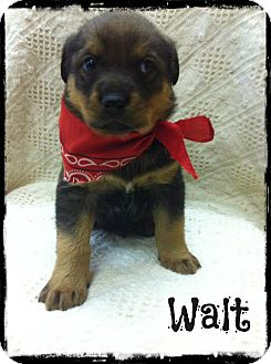 German Shepherd Dog/Labrador Retriever Mix Puppy for adoption in Cranford, New Jersey - Walt
